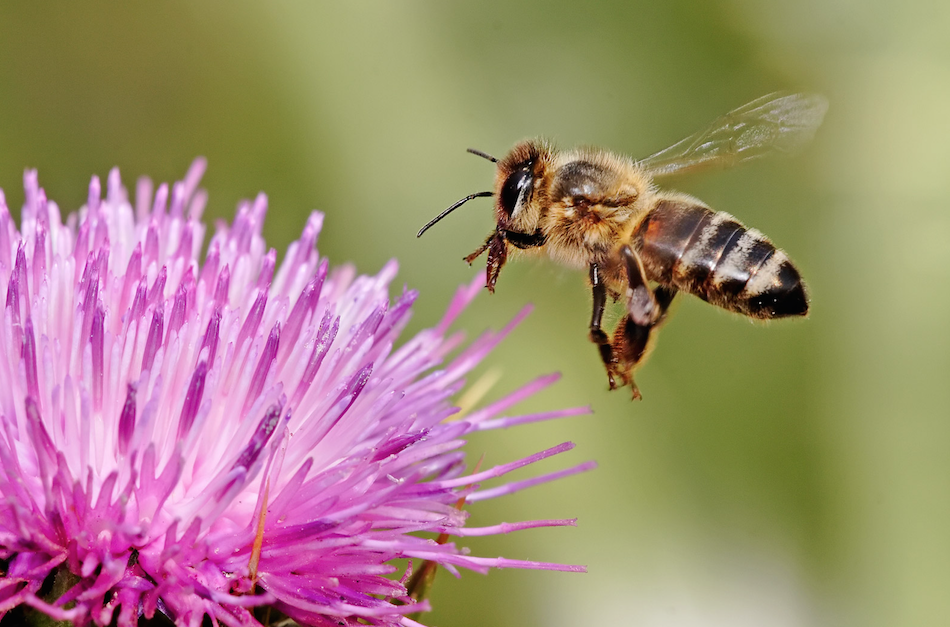 Honeybees: Protecting the pollinators
